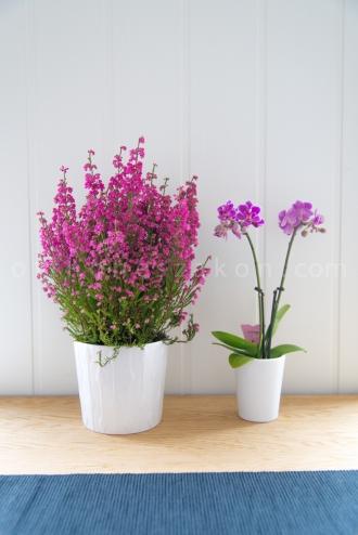 Alomszep szinu hanga es mini orchidea